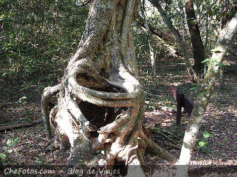 Arbol curioso, parece bosque encantado