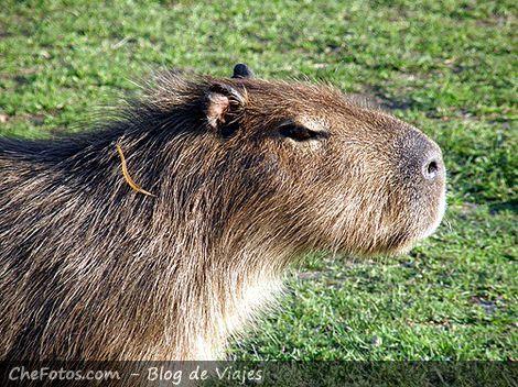 Foto del mayor roedor del mundo