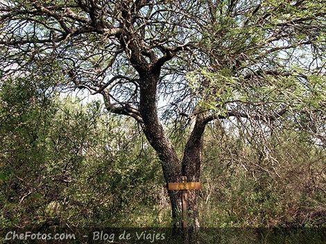 Foto del árbol El Caldén