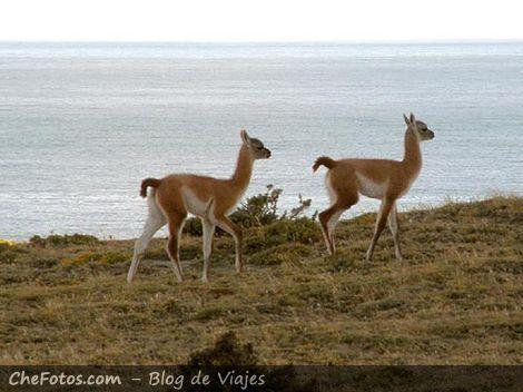 Guanacos patagónicos bebés en libertad