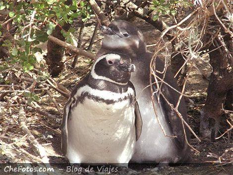 Nidos con crias de pingüino de Magallanes