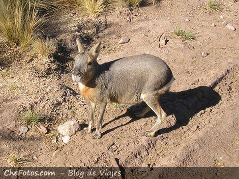 Foto de una Mara, que bicho raro…