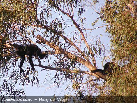 Monos aulladores negros