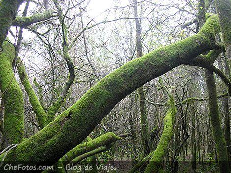 Monte sano, árboles con liquen