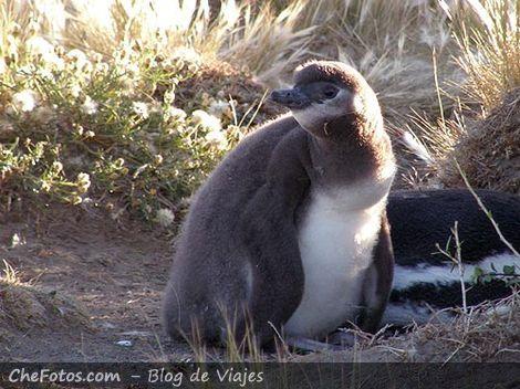 Pingüino de Magallanes bebé o pichón