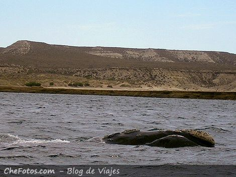 La ballena franca Austral