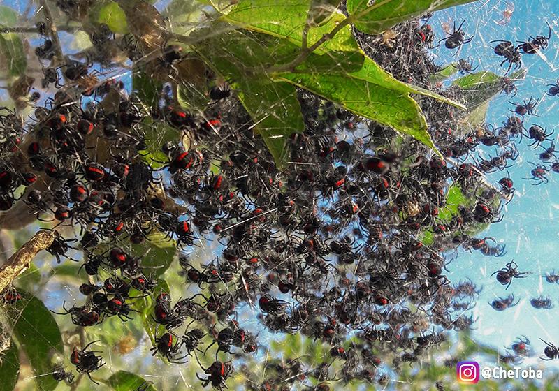Arañas en los esteros del iberá
