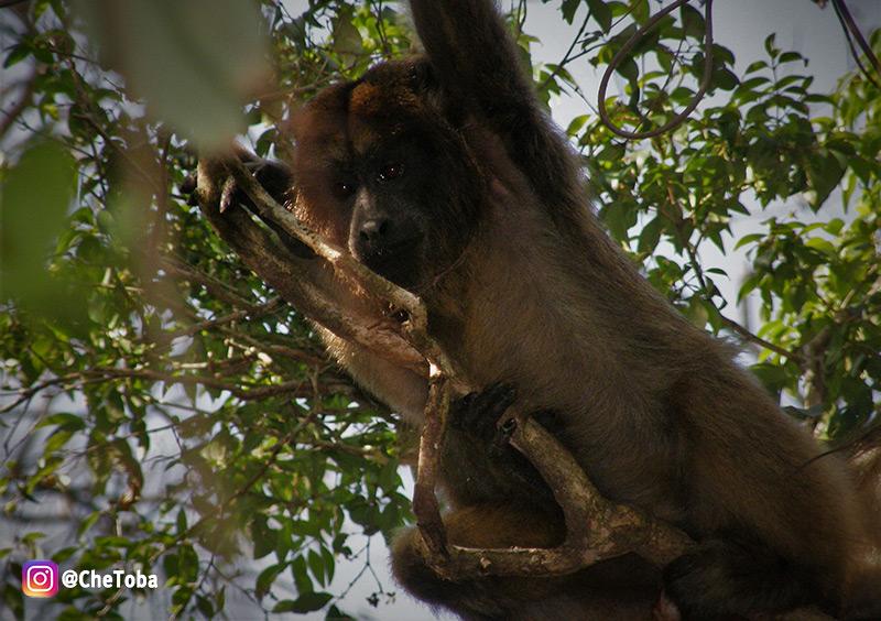 Monos en los Esteros del Iberá