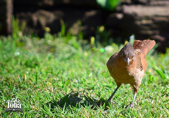 Foto de un Cachalote - Angry Bird Sureño - Pseudoseisura Lophotes