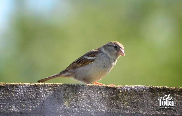 gorrion-hembra