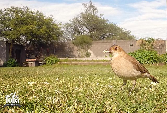 Un Hornero - Fumarius rufus