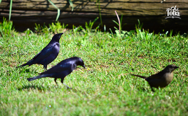 Dos Tordos Renegridos machos y una hembra de la misma especie.