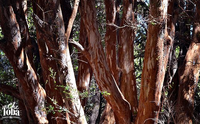 bosque-arrayanes-bariloche
