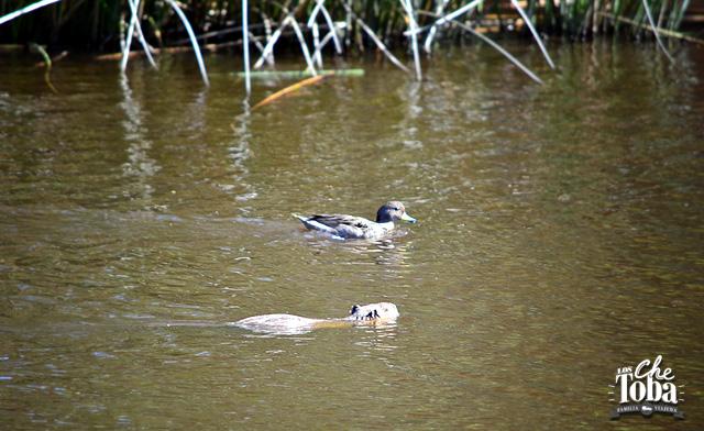 nutria-y-pato-de-laguna