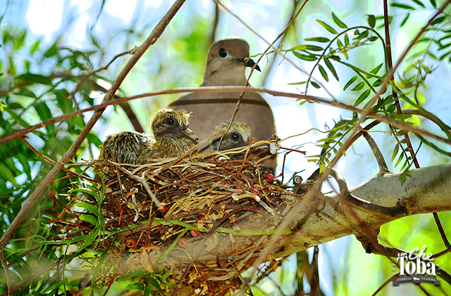 nido-paloma-torcaza
