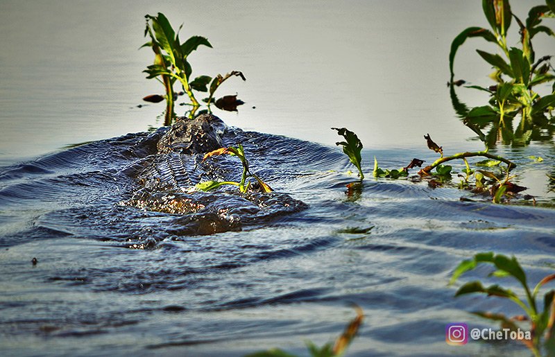 aligators-cypress-lake