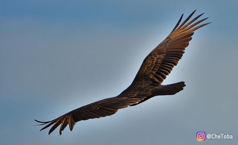 falcon-americano