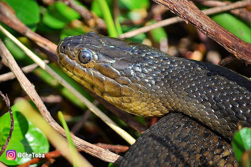 serpientes-de-la-florida