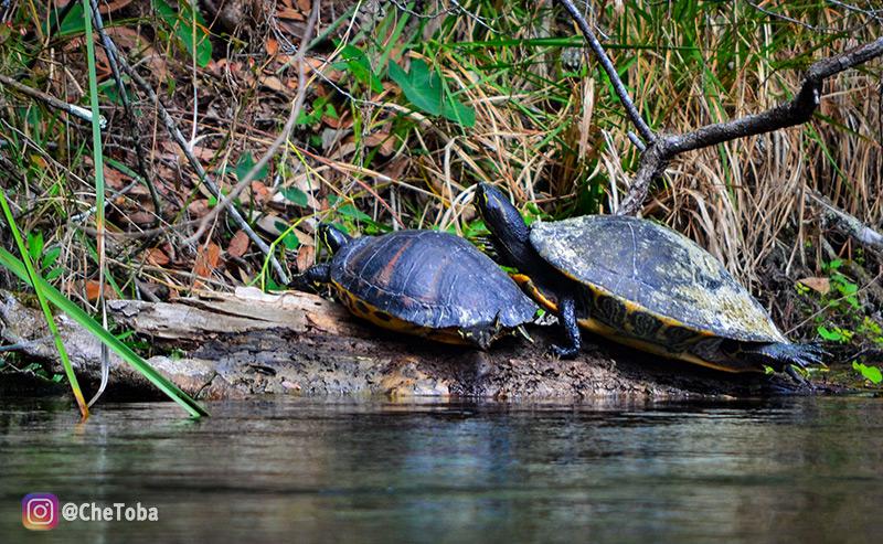 tortugas-de-agua-dulce