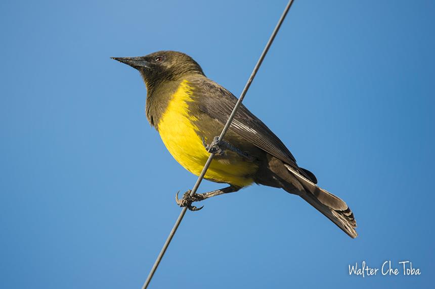 Pecho amarillo ave