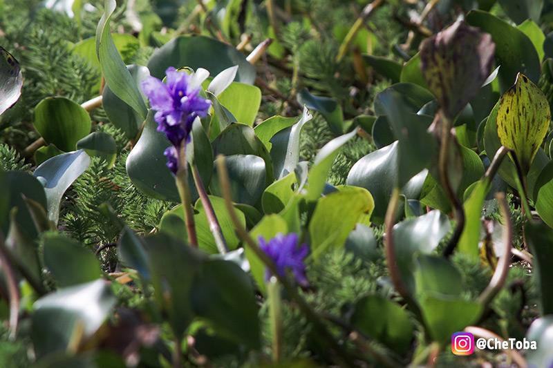 Flor Santa Lucia, plantas acuáticas en los Esteros del Iberá