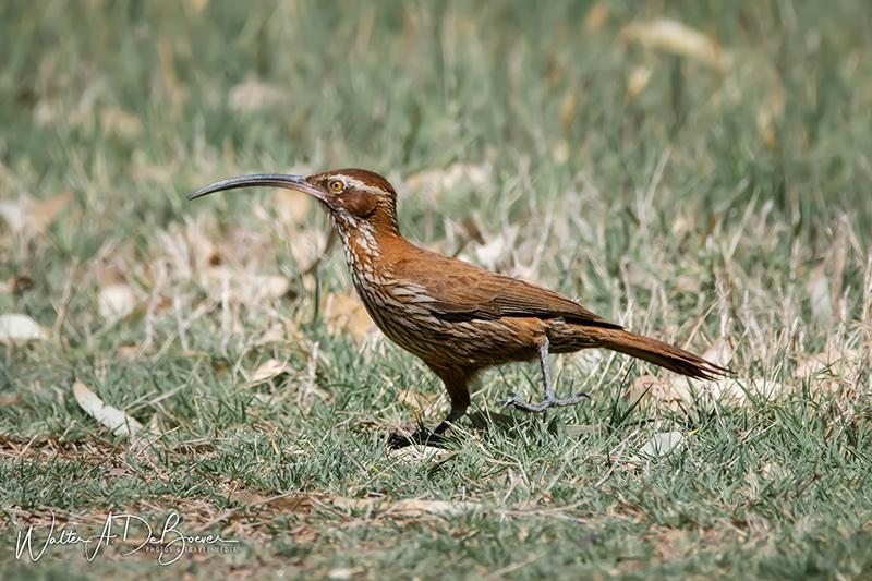 Chinchero grande ave