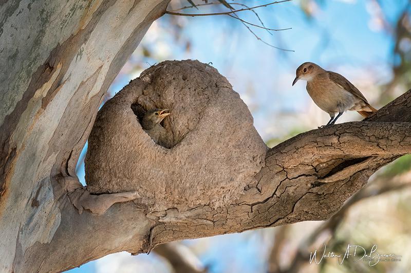 nido de hornero con pichones
