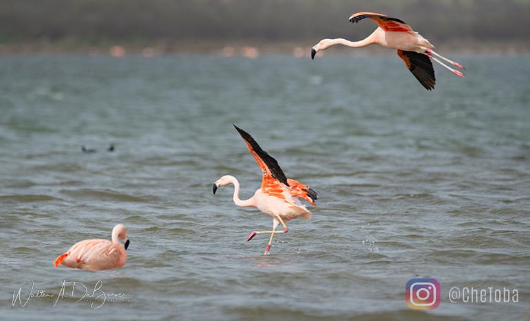 Flamencos Australes - Aves de Mar Chiquita