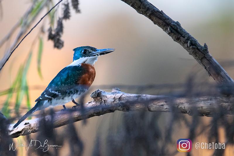 Aves de Villa Maria, Chetoba