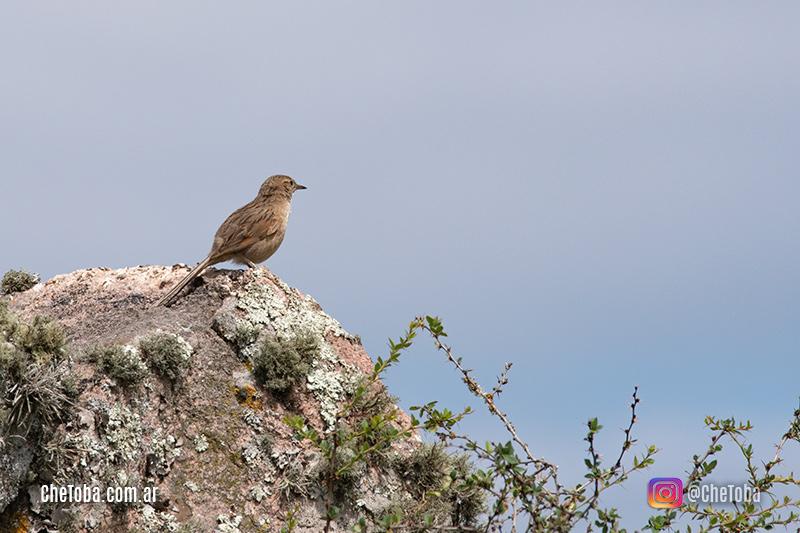 Canastero Pálido o Espartillero Serrano en Quebrada del Condorito