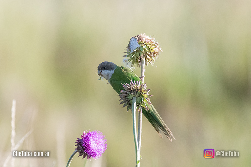 Catita Serrana, Aves en El Condorito