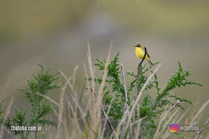 Aves comunes Quebrada el Condorito