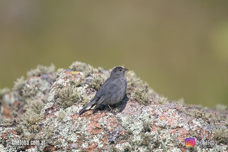 Yal Plomizo, Aves de Traslasierra