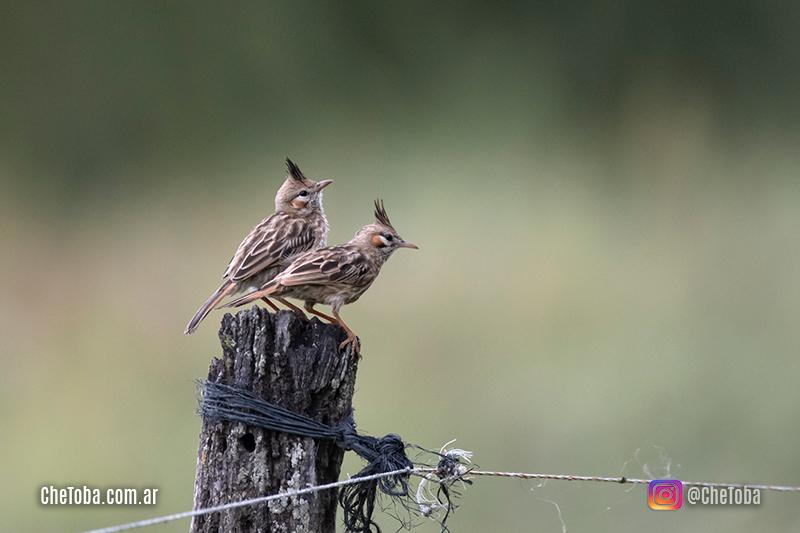 Fotografía de aves Che Toba