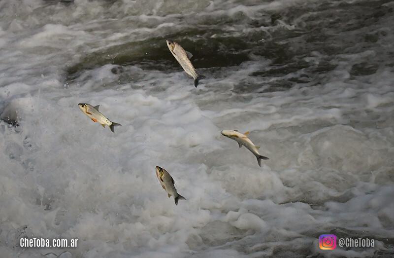 Peces en el río calamuchita, córdoba