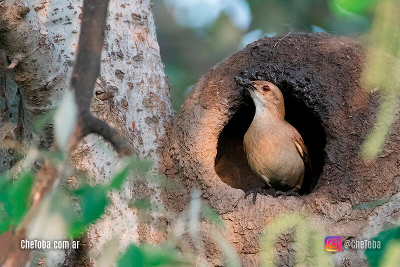 10 aves comunes de Argentina