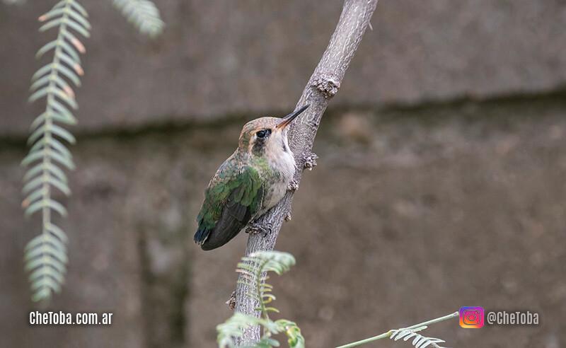 Foto de Picaflor Verde Juvenil