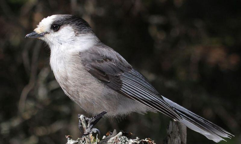 Arrendajo gris, ave nacional de Canadá