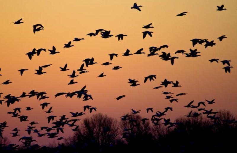 Aves migratorias de norteamérica