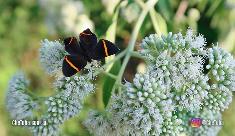 Foto de una Mariposa Danzarina