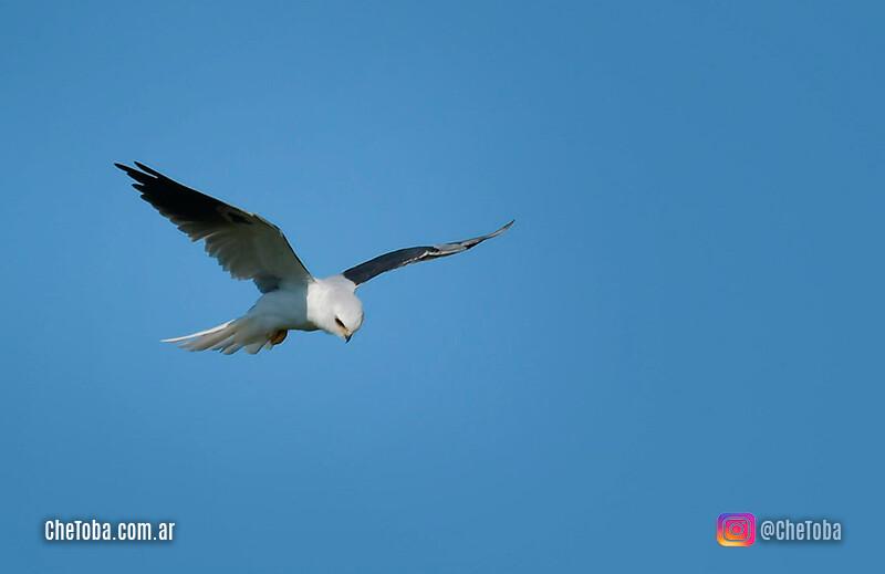 MIlano blanco vuelo