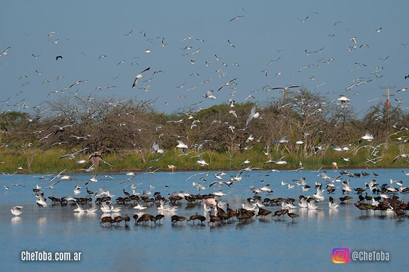 Aves Argentinas, El Carancho