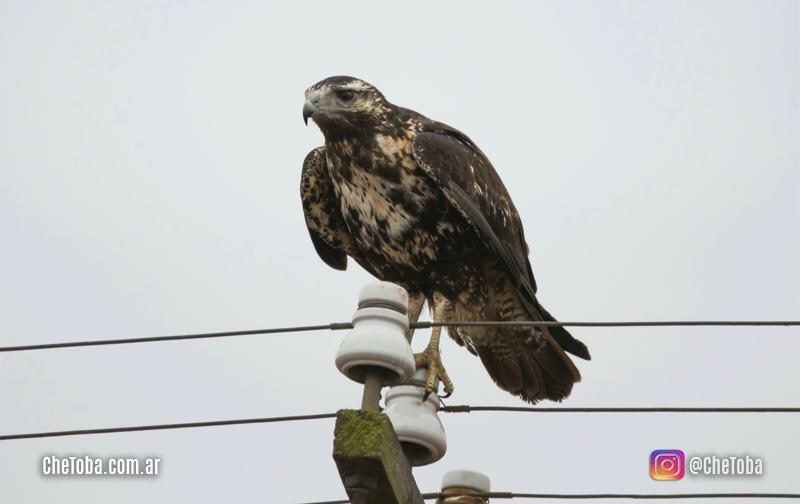 Águila Mora plumaje juvenil