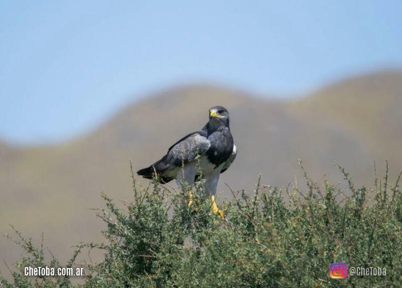 Águila Mora plumaje adulto