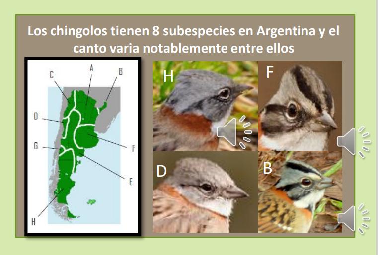 Chingolo subespecies y mapa de distribución