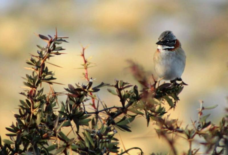 El Chingolo, Subespecies de Argentina