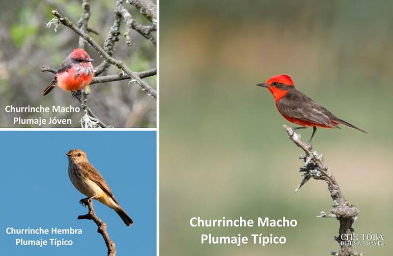 Diferencia Churrinche Macho y Churrinche Hembra