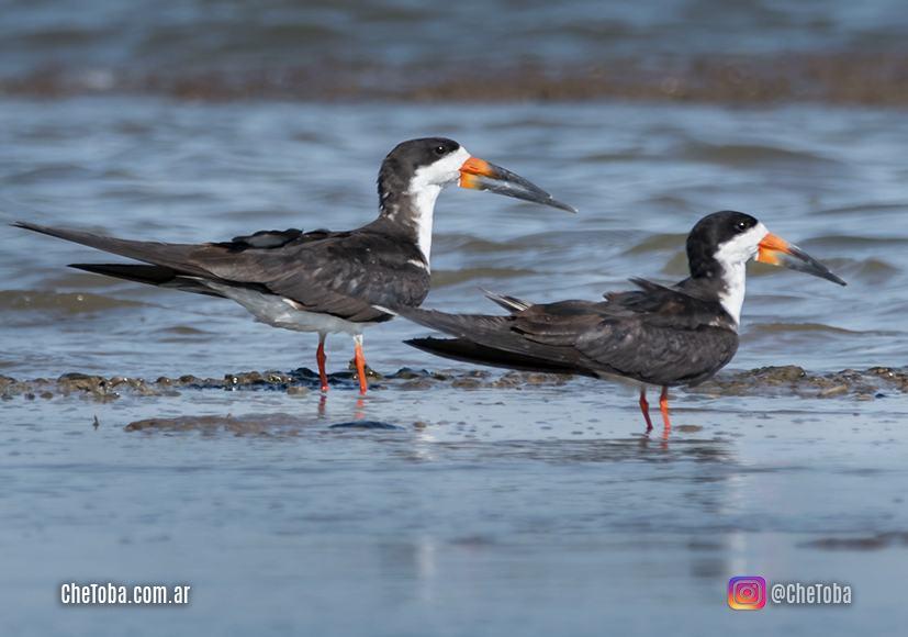 Ornitología - Rayador