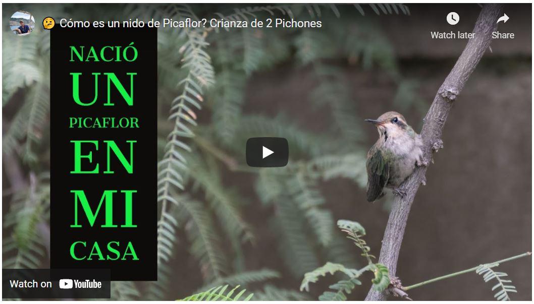 Cómo es el nido de un Colibrí