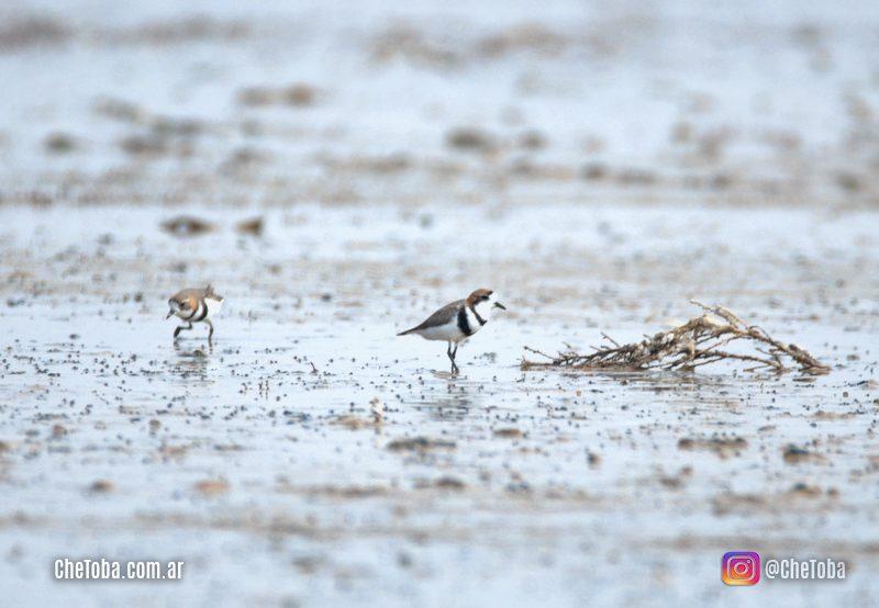 Aves Playeras Parque Nacional Ansenuza